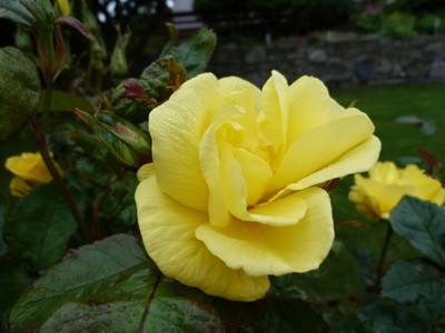 Yellow Rose with Dewdrops
