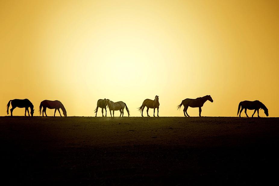 Wild Horses grazing at sunset