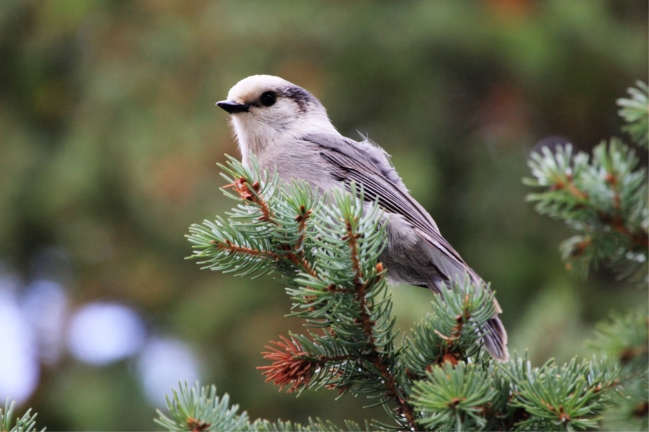 This is a Gray Jay, aka: Camp Robber posing for me on a branch. Wood River, near Meeteetse, Wyomi...