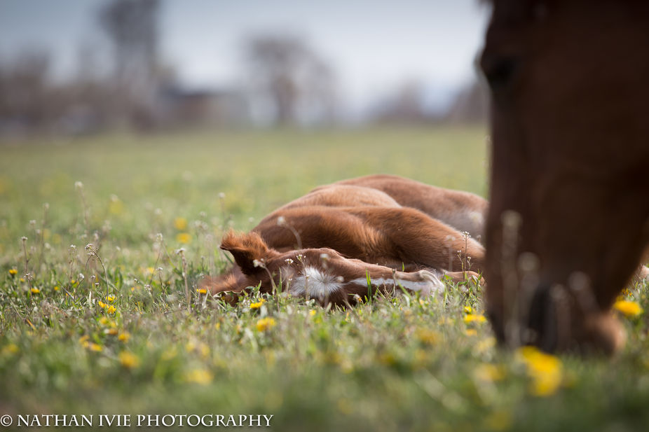This little foal was a day old when I took this shot.  After playing she was all tuckered out and...