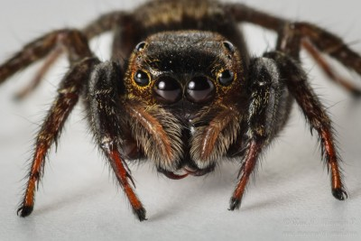 Jumping Spider Macro - DSC_3215