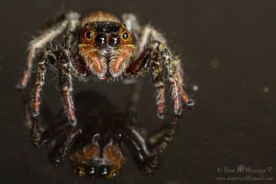 Jumping Spider Macro - DSC_2717