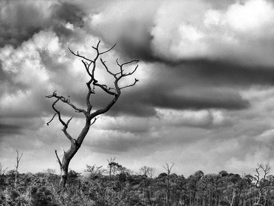 Crooked Tree on Crooked Island bw