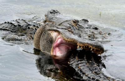 Gators Locked In Battle