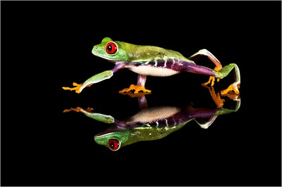 Red-Eyed-Tree-Frog-Reflection