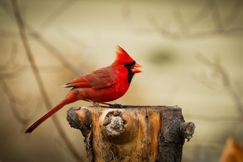 A Cardinal Swoops in, strikes a pose, then books!