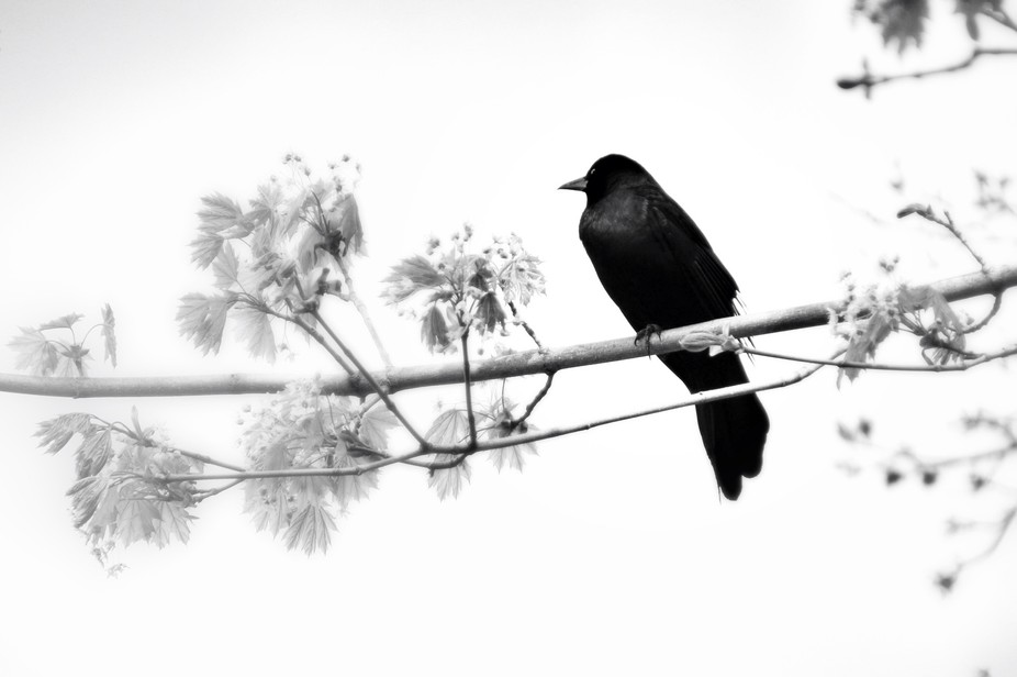 Red-winged Blackbird keeping watch