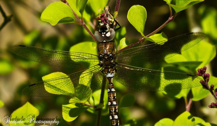 This is the first dragonfly I have seen up here in Canada. I love them & it\'s nice to have th...