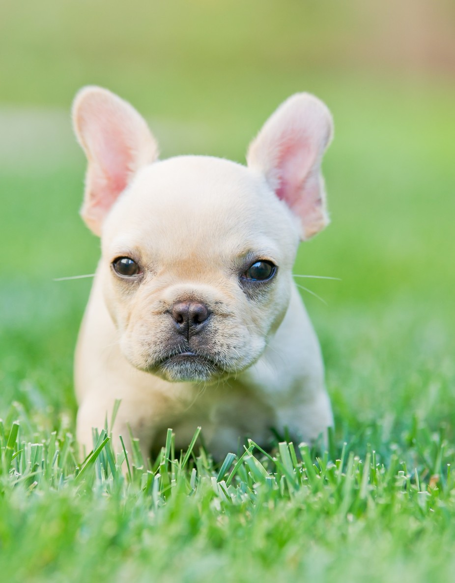 French Bulldog puppy by robbyticknor - Kittens vs Puppies Photo Contest