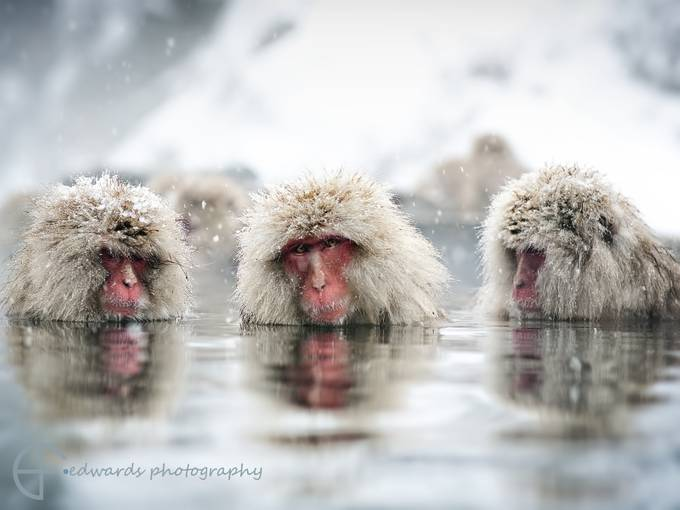 no see no hear no speak by elfiedwards - Wildlife And Water Photo Contest