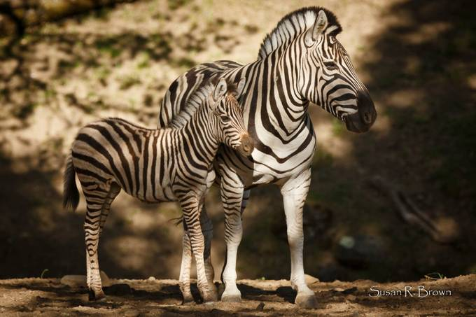 Zebra by srb277 - Baby Animals Photo Contest