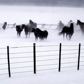 Horses caught in an snow storm in Montana.
