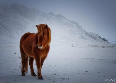 Icelandic horse waiting for summer
