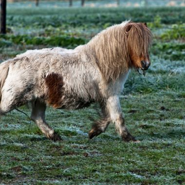 Shaggy pinto pony keeps watch on me while trotting through pasture.