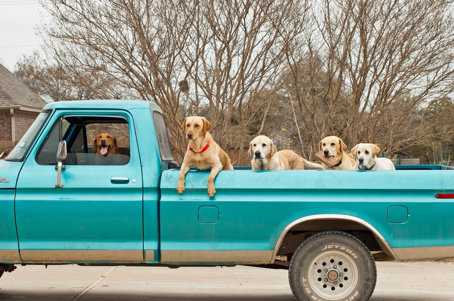 Our four labs are in the truck bed and their best friend, Annie is getting ready to take them on ...