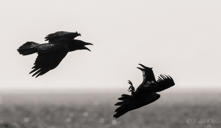 Two ravens in their mating rituals in the spring.