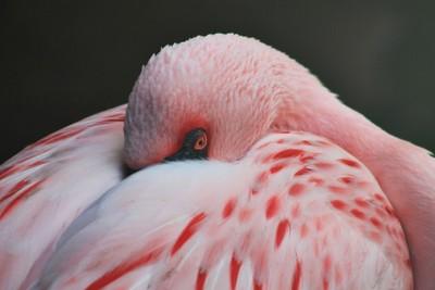 A Flamingo Sleeps