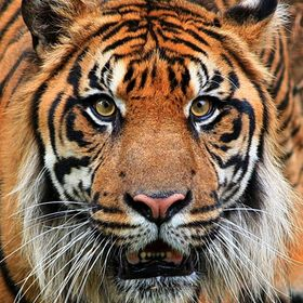 Sumatran Tiger.  The Sumatran tiger (Panthera tigris sumatrae) is a subspecies of tiger found on the Indonesian island of Sumatra. Recent genetic...