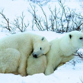 This was one of those precious once in a lifetime captures taken at Gordon Point, Hudson Bay, Manitoba, Canada on the tundra.  We were living on ...