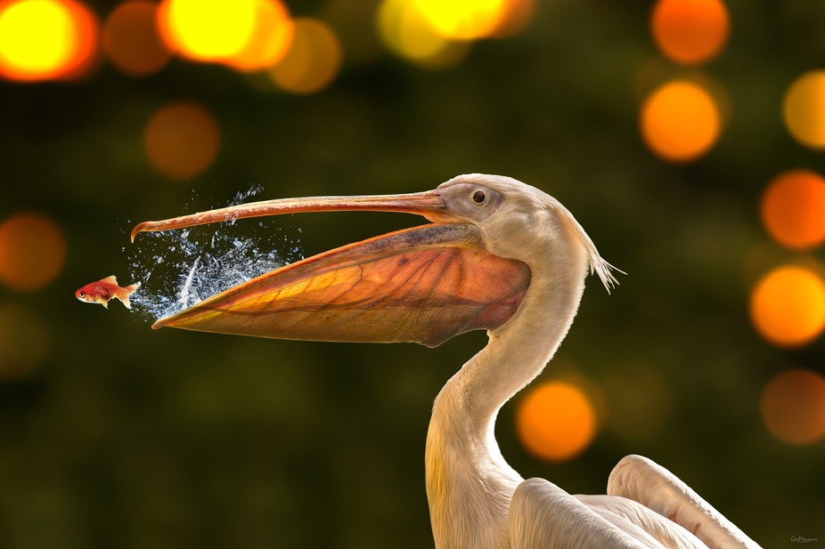 This is an Composition with one of my pics. I mixed the pelican with 2 Stock Pictures, the fish a...