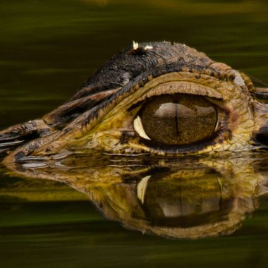 The reflecting Eye of a Black Caiman.Taken in Yasuni National Park,Ecuador