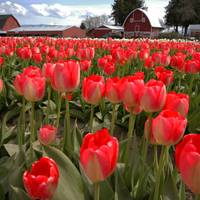 tulips and barn