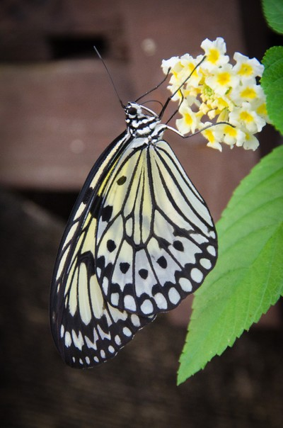 paper kite ( rice paper ) butterfly