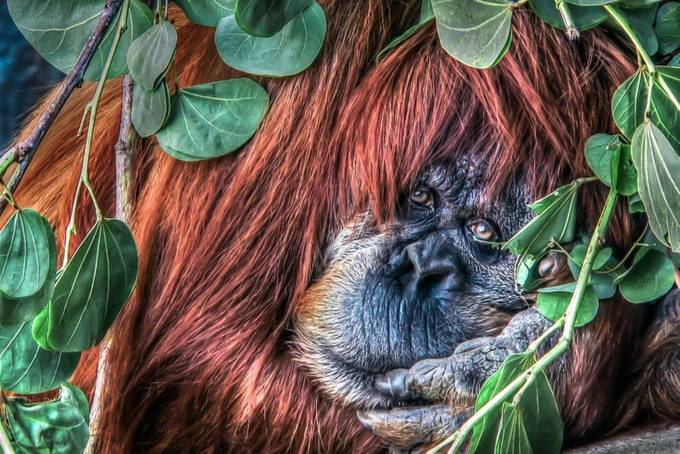Person of the Forest HDR by rturnbow - Monkeys And Apes Photo Contest