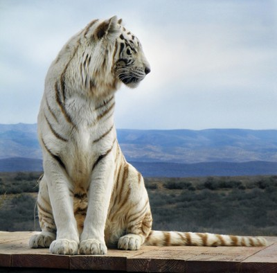 White Tiger - My day at Out of Africa sanctuary Arizona