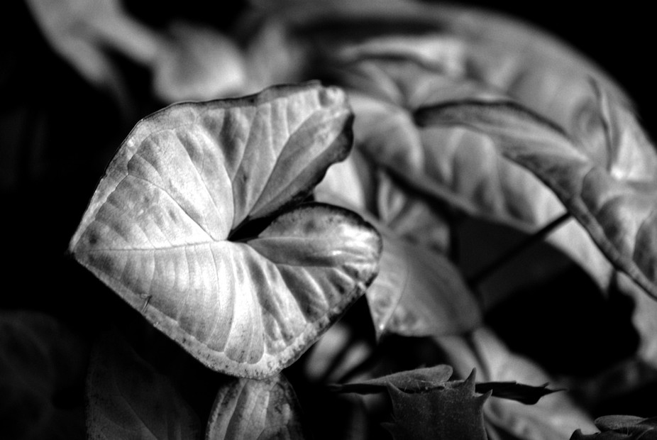 black and white plant leaves