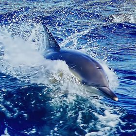 On a 4 hour boat trip in Tasmania, Australia, we were escorted by an estimated 300 dolphins. The most wonderful experience. The skipper of the bo...