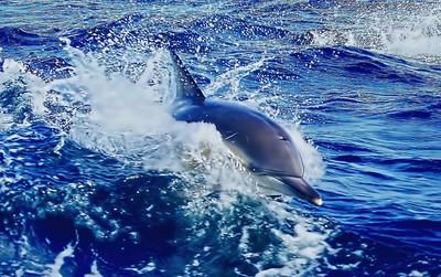 Dolphin in Tasmanian Waters