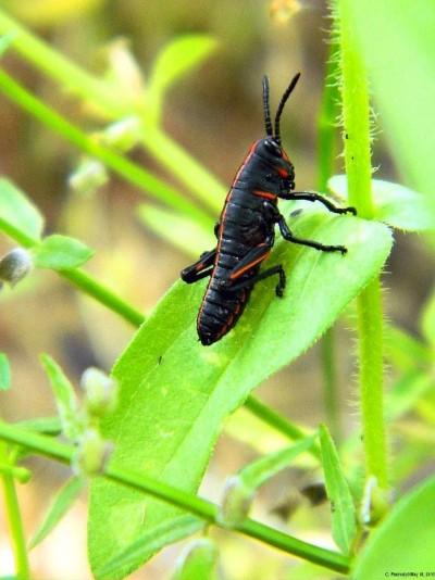 Its A Baby Grasshopper!