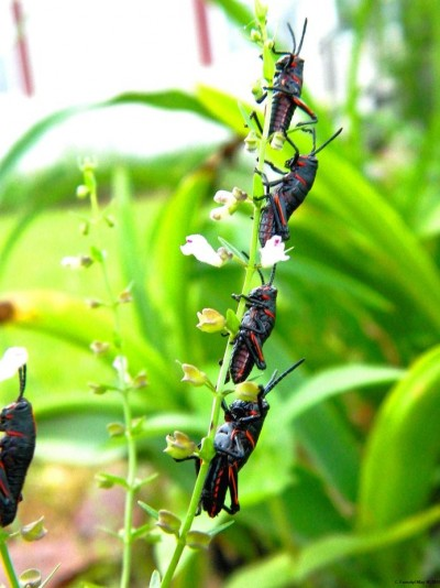 It's Quadruplet Grasshoppers!