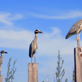 Three yellow-crowned night herons, photographed on the dock posts, in my back garden, in Freeport, Bahamas