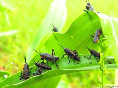 Grasshoppers Everywhere!