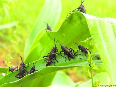 Grasshoppers Family