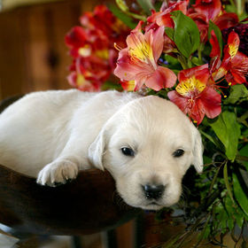 white puppy in a bowl with colorful flowers