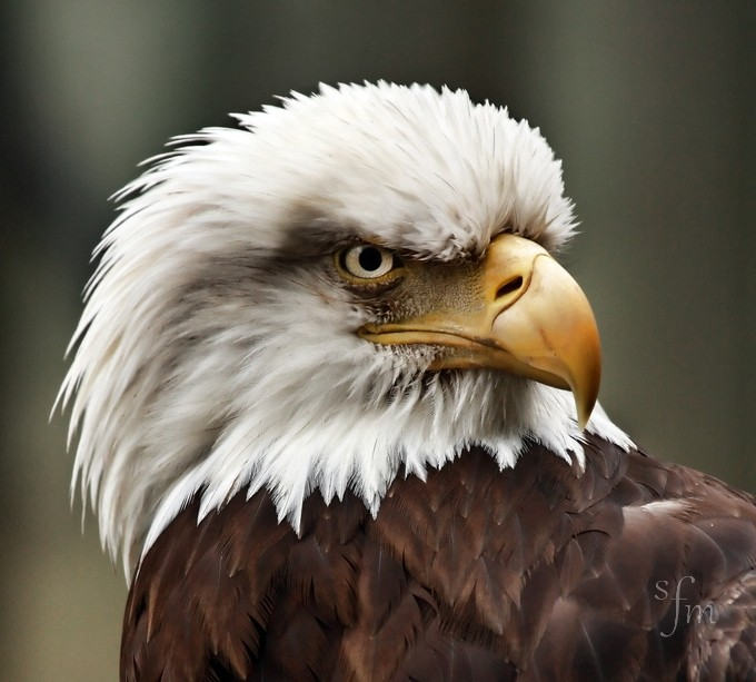 American Bald Eagle by sharonmorris - Majestic Eagles Photo Contest