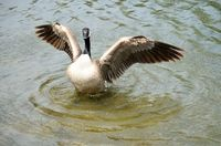 Canadian Goose Wings Spread
