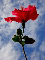 Hibiscus in the Sky by peterwebs