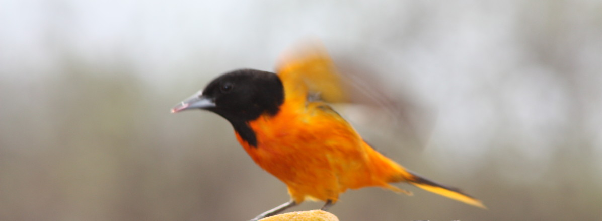Oriole in Flight