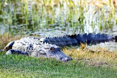 Sunset Alligator 2