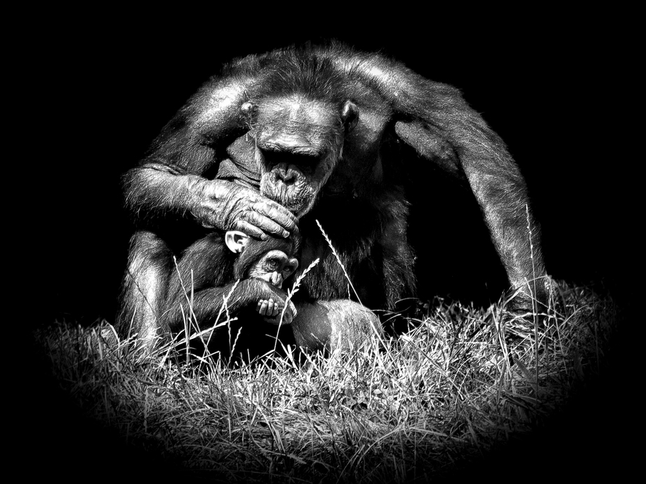 A magical moment when the chimp glanced up at the camera whilst with its mother