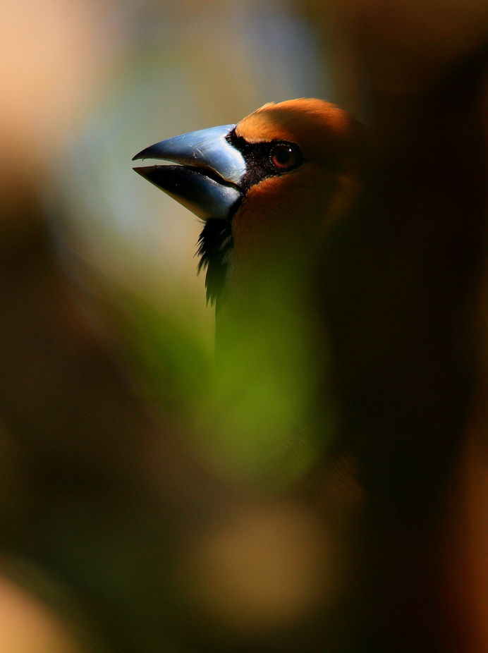 a rest hawfinch