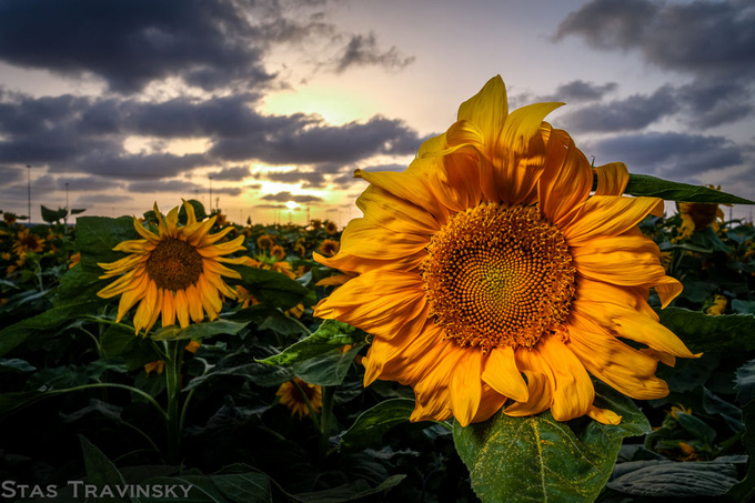 sun(flower)set by stastravinsky - Clever Angles Photo Contest
