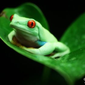 Red-eyed tree frog (Agalychnis callidryas) from Central America