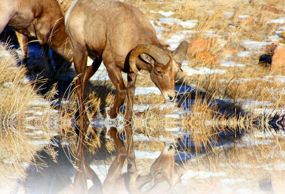 Rocky Mountain Big Horn Sheep at Blue Mesa reservoir near Gunnison Colorado. You can see more of ...