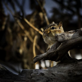 Chipmunk behind log