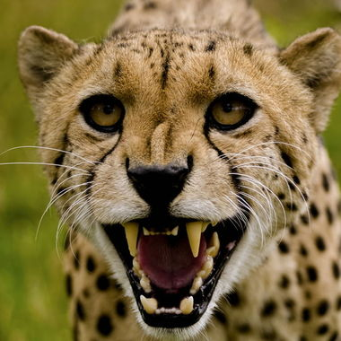 The cheetah is probably the fastest animal on land ,but can also get irritable.
